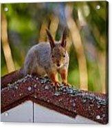 Eurasian Red Squirrel Acrylic Print