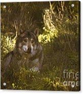 European Wolf Acrylic Print