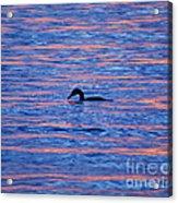 Evening Swim Acrylic Print