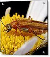 False Blister Beetle Acrylic Print by Science Photo Library