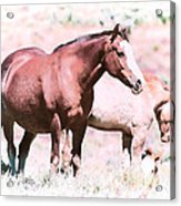 Family Of Horses Acrylic Print