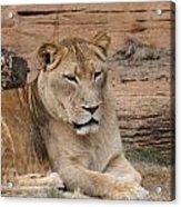 Female African Lion Acrylic Print