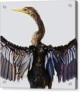 Female Anhinga Acrylic Print