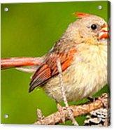 Female Cardinal  Acrylic Print