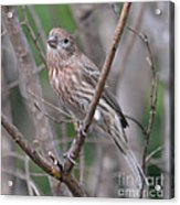 Female House Finch  Acrylic Print