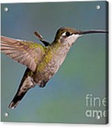 Female Magnificent Hummingbird At Flower Acrylic Print
