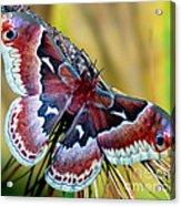Female Promethea Moth Acrylic Print