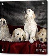 Festive Puppies Acrylic Print