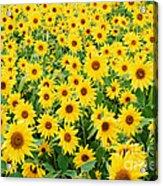 Field Of Sunflowers Helianthus Sp Acrylic Print