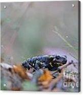 Fire Salamander - Salamandra Salamandra Acrylic Print