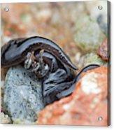 Flatworm With Prey Acrylic Print