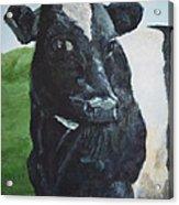 Flirtatious Cow Acrylic Print