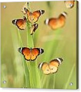 Flock Of Plain Tiger Danaus Chrysippus Acrylic Print by Alon Meir