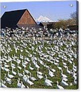 Flocks Of Snow Geese Acrylic Print