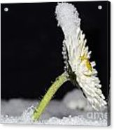 Flower With Snow Acrylic Print