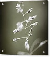 Flowering Grass Acrylic Print