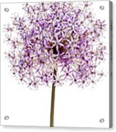 Flowering Onion Acrylic Print