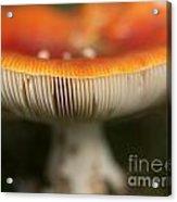 Fly Agaric Acrylic Print
