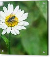 Fly On Daisy 3 Acrylic Print
