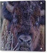 Forest Bull Acrylic Print