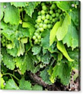 France, Provence, French Vineyard Acrylic Print