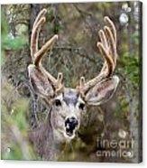 Funny Mule Deer Buck Portrait With Velvet Antler Acrylic Print
