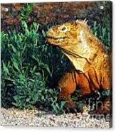 Galapagos Land Iguana Acrylic Print