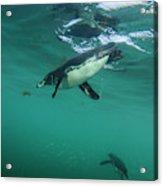 Galapagos Penguin (spheniscus Mendiculus Acrylic Print