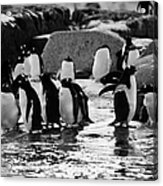 Gentoo Penguins On Rocky Shoreline On Port Lockroy Antarctica Acrylic Print