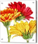 Gerbera Flowers Acrylic Print