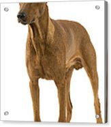 German Or Standard Pinscher Acrylic Print