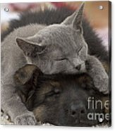 German Shepherd And Chartreux Kitten Acrylic Print