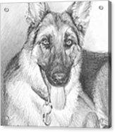 German Shepherd Pencil Portrait Acrylic Print