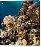 Giant Clam And Tropical Reef In The Red Sea. Acrylic Print