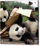 Giant Panda Ailuropoda Melanoleuca Pair Acrylic Print