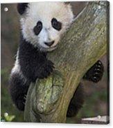 Giant Panda Cub In Tree Acrylic Print