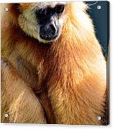 Gibbon Monkey  Acrylic Print