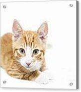 Ginger Kitten Staring Acrylic Print