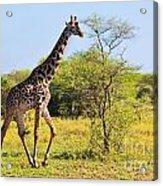 Giraffe On Savanna. Safari In Serengeti Acrylic Print