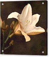 Golden Daylily Acrylic Print
