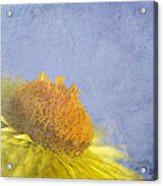 Golden Everlasting Daisy Acrylic Print