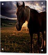 Golden Horse  Acrylic Print