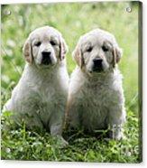 Golden Retriever Puppies Acrylic Print