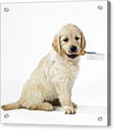 Golden Retriever Puppy Acrylic Print