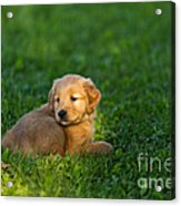 Golden Retriever Puppy Acrylic Print by Linda Freshwaters Arndt