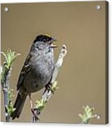 Goldencrowned Sparrow Acrylic Print