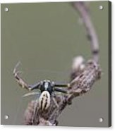Goldenrod Crab Spider Male  Acrylic Print