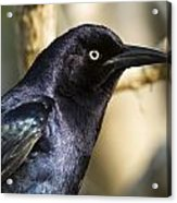 Grackle Acrylic Print