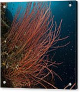 Grand Sea Whip With Diver Acrylic Print