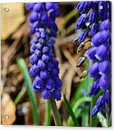 Grape Hyacinths  Acrylic Print